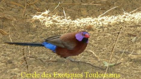 Cordon bleu grenadin uraeginthus granatinus bordermaker