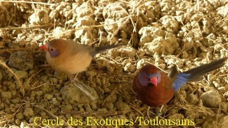 Couple uraeginthus granatinus bordermaker