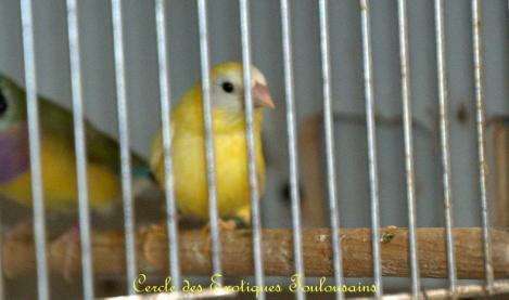 Femelle kittlitz jaune bordermaker