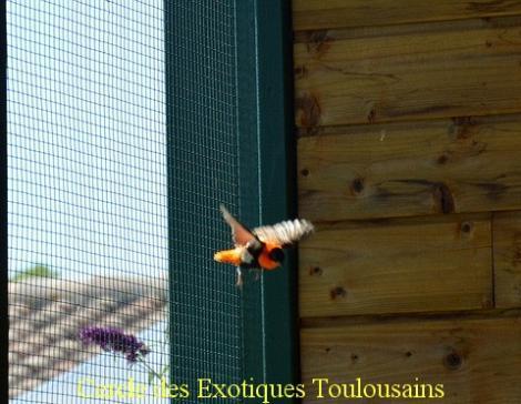 Ignicolor en vol euplectes orix bordermaker
