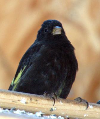 Tarin noir femelle