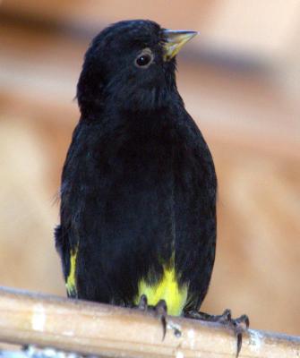 Tarin noir male 1