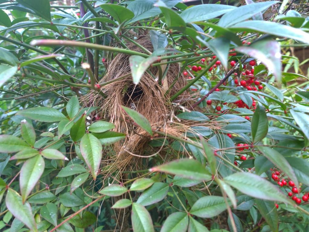 nid de petit chanteur de cuba